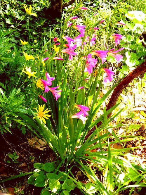 Les glaïeuls d'Illyrie - fleurs de la garrigue - avril -