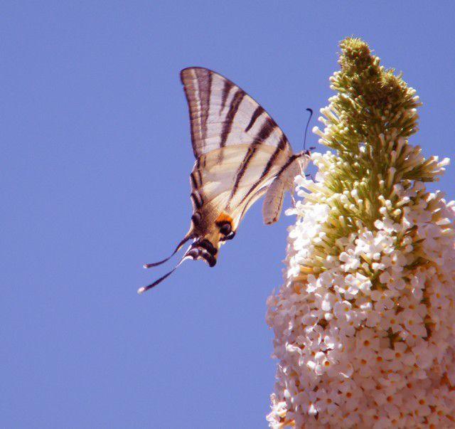 Papilio machaon qui butine sur valériane.et un flambé sur buddleia dans mon village (04), j'en ai surpris une dizaine en même temps sur l'arbuste !