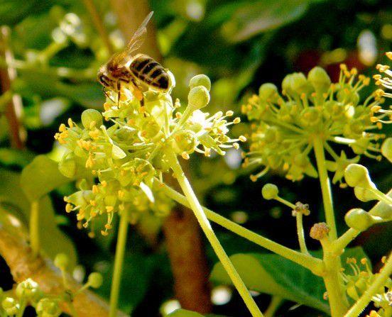 Le lierre en fleurs - 25.09.2016 - 08.09.2017- 20.09.2018. Premières abeilles sur fleurs épanouies .