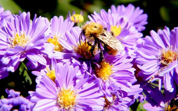 """Bombus agrorum"" sur asters - 29.09."