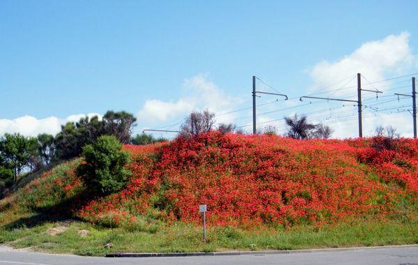 Les coquelicots le long de la voie-ferrée ! Pas-des-Lanciers (13). mai. Le long des voies-ferrées, lorsqu'elles ne sont pas désherbées, abritent beaucoup de plantes intéressantes, voire rares.