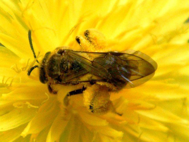 Halictidae - Lasioglossum (evylaeus ?) sp.  sur fleur de laiteron. 17.06.2019. Elles sont nombreuses sur cette fleur.n