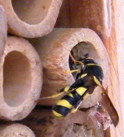 LEUCOSPIS GIGAS - hyménoptère chalcidoidea - visite de nids