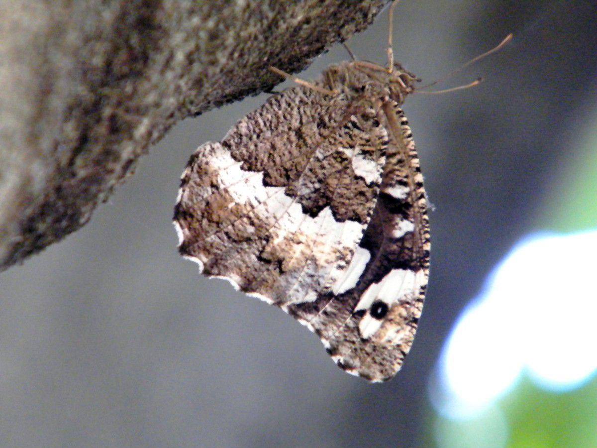 Le Silène  Depuis quelques jours je le vois virevolter autour de mon figuier et se poser à l'ombre sur le tronc pour se rafraîchir ! Ce jour 28.06 à 14 h = 40 degrés sous mon arbre ( 8 m de haut et 1 m 20 de diamètre). Le papillon se délecte du jus des figues de Solies..