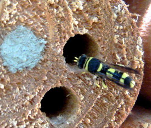 """Un """"Leucospis cordigera"""" ,famille des Chalcidoidea, hyménoptère parasite des osmies, fouille les nids.05.08."""