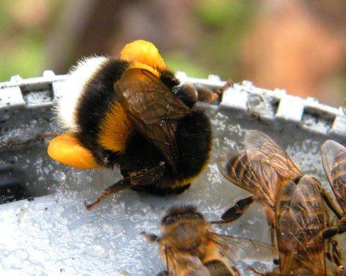 Les abeilles au ravitaillement sur la coupelle et un bourdon  terrestre qui s'invite de temps en temps (photos d'archives)