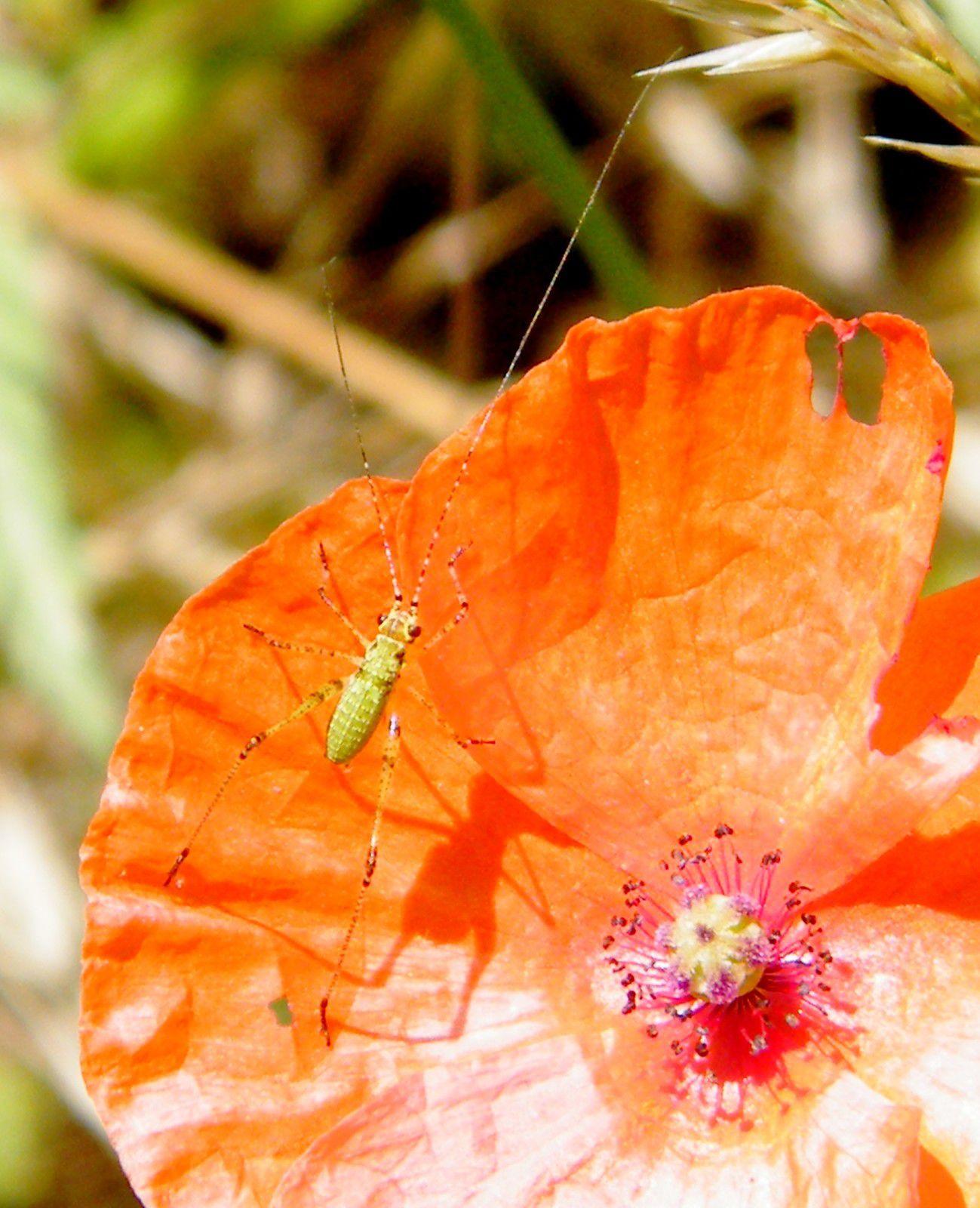 """Très jeune """"Phaneroptera nana"""" ( 3 mm ) posée sur un coquelicot - 31.05. Elle apprécie la chaleur du soleil, en particulier matinal, en étendant ses pattes postérieures vers l'arrière dans le prolongement du corps. Présente en Provence notamment."""