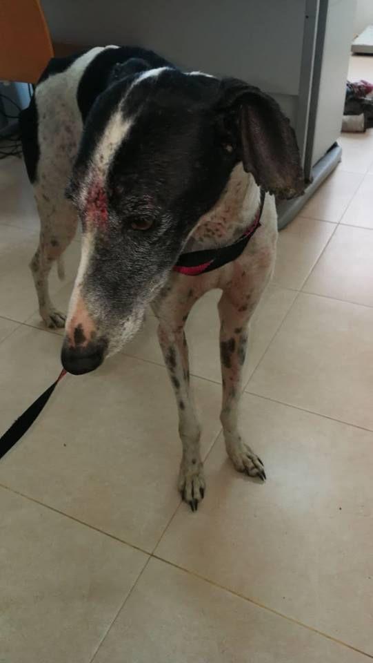 A. Divino un petit galgo de 4 ans martyrisé à l'adoption chez sos chiens galgos