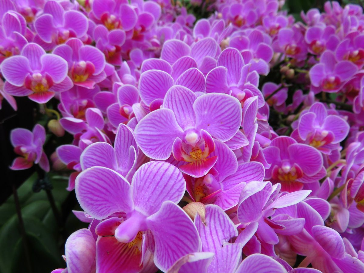 Orchidée - Flower Dome - Gardens By The Bay - Singapour