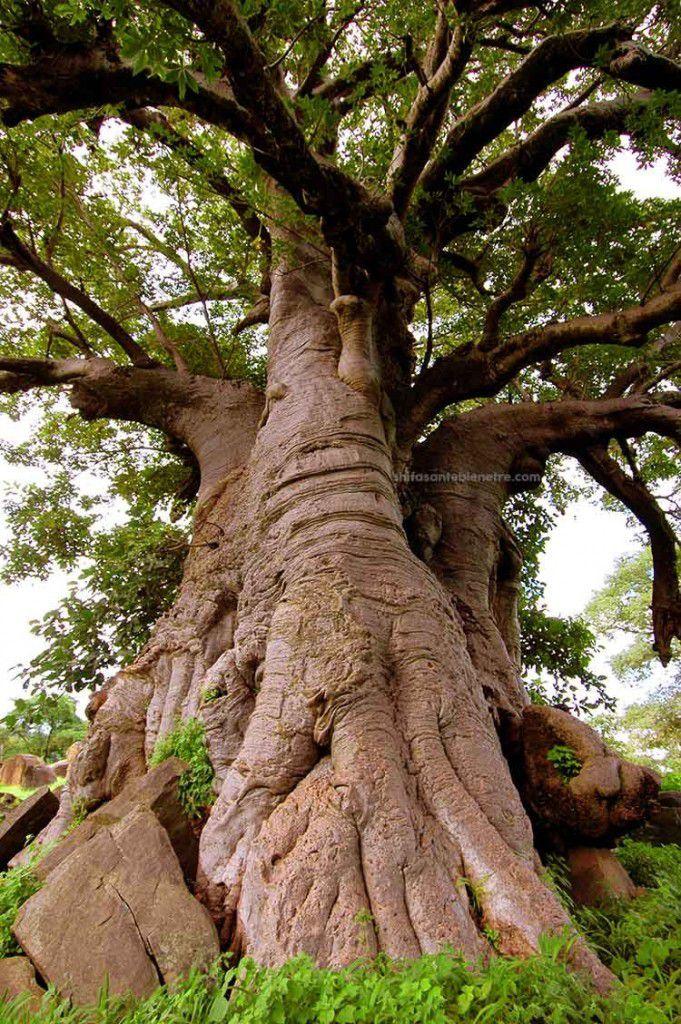 SANTE : 12 propriétés médicinales du baobab - Le Blog de Benoît ...