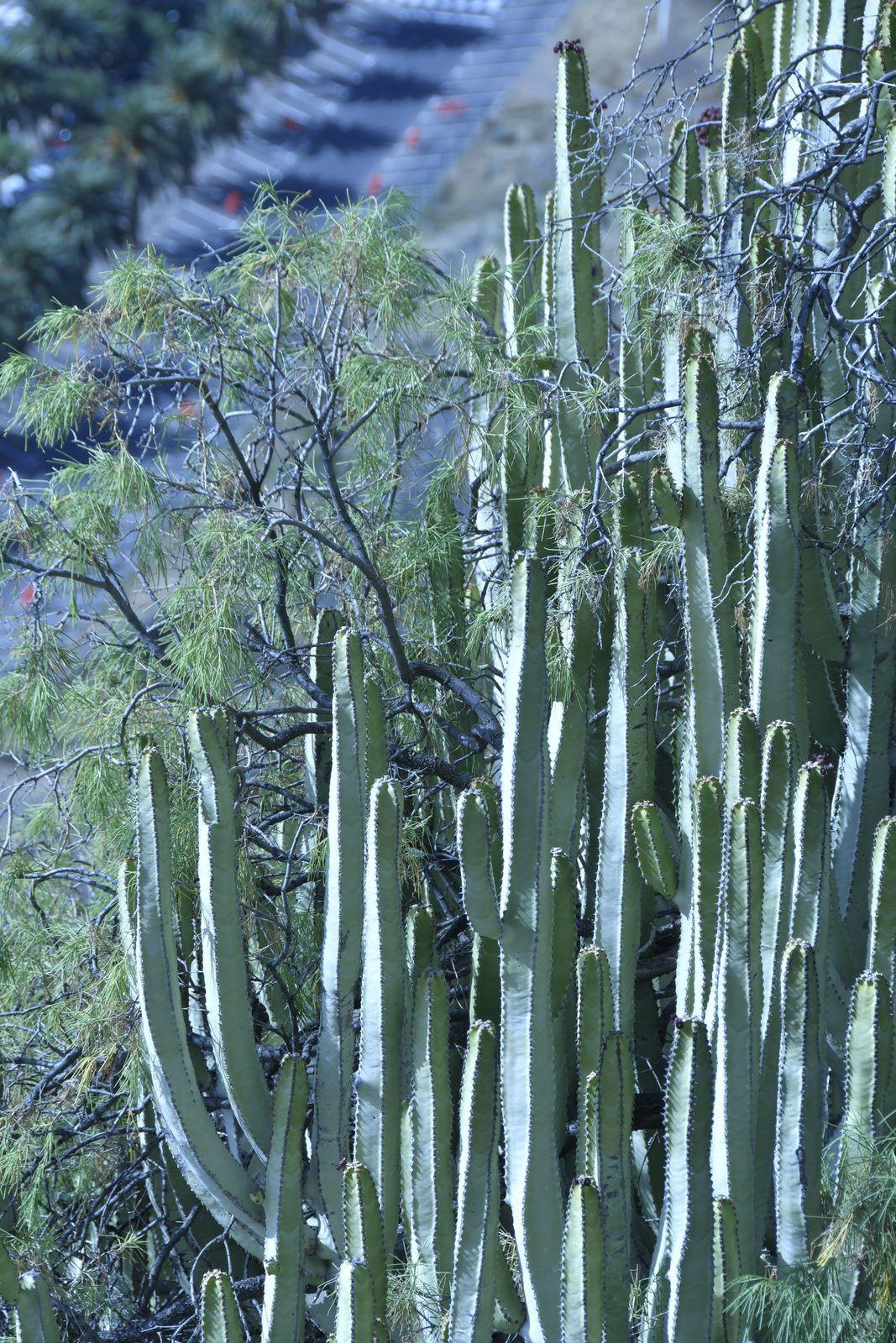 J.01) Flore Succulente des Canaries