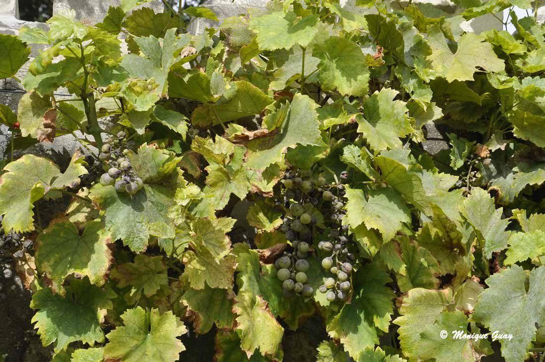 Par contre le raisin a attrapé la maladie et noircit. On ne pourra en récolter.