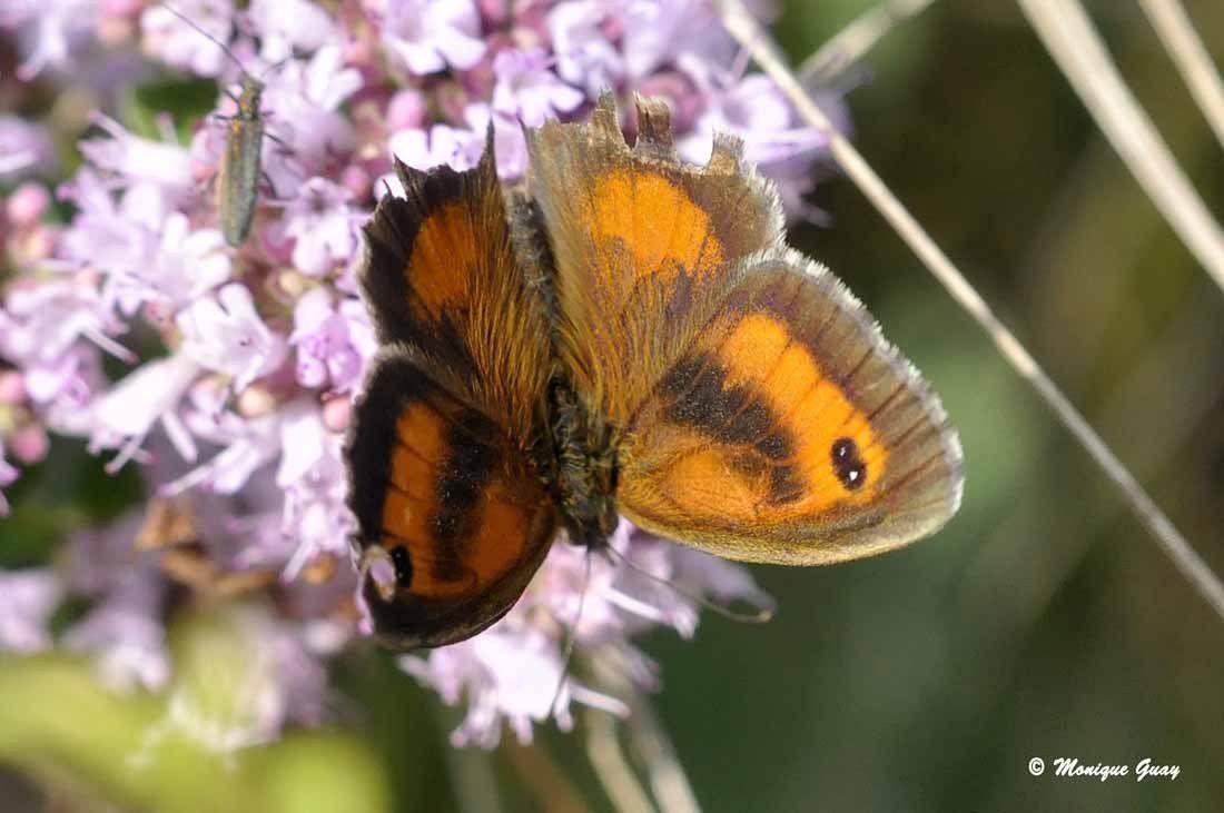 Amaryllis mâle