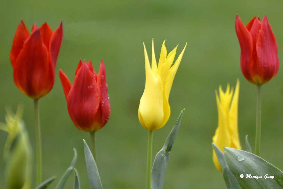 Originales, ces tulipes pointues !