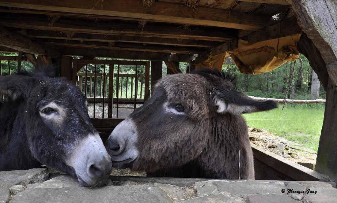 Au château-fort de Guédelon, moment sympa entre ces deux ânes.