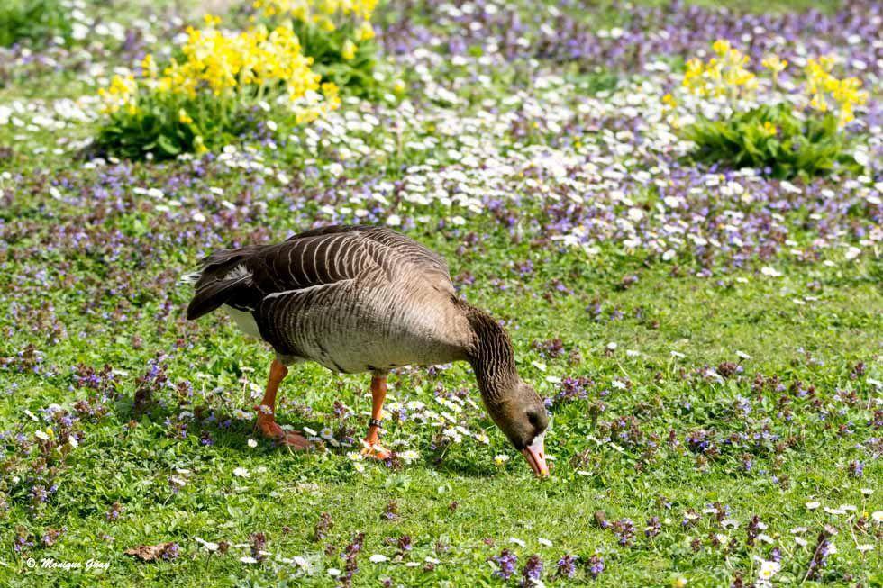 Oie cendrée dans les fleurs