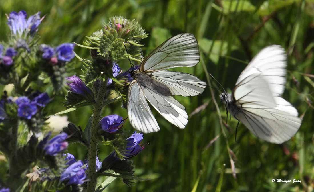 Les ailes sont assez transparentes; ce serait sans doute une femelle.