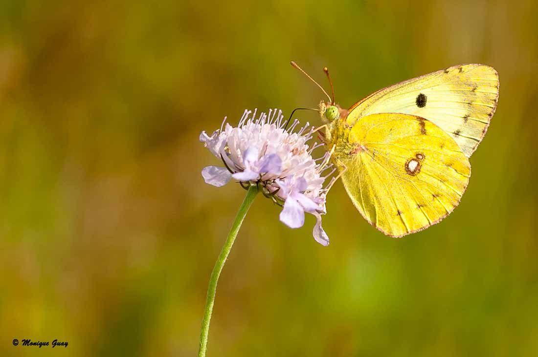 Papillon Souci mâle