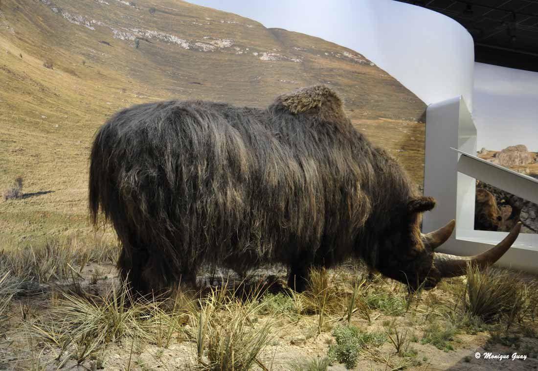 Le rhinocéros laineux