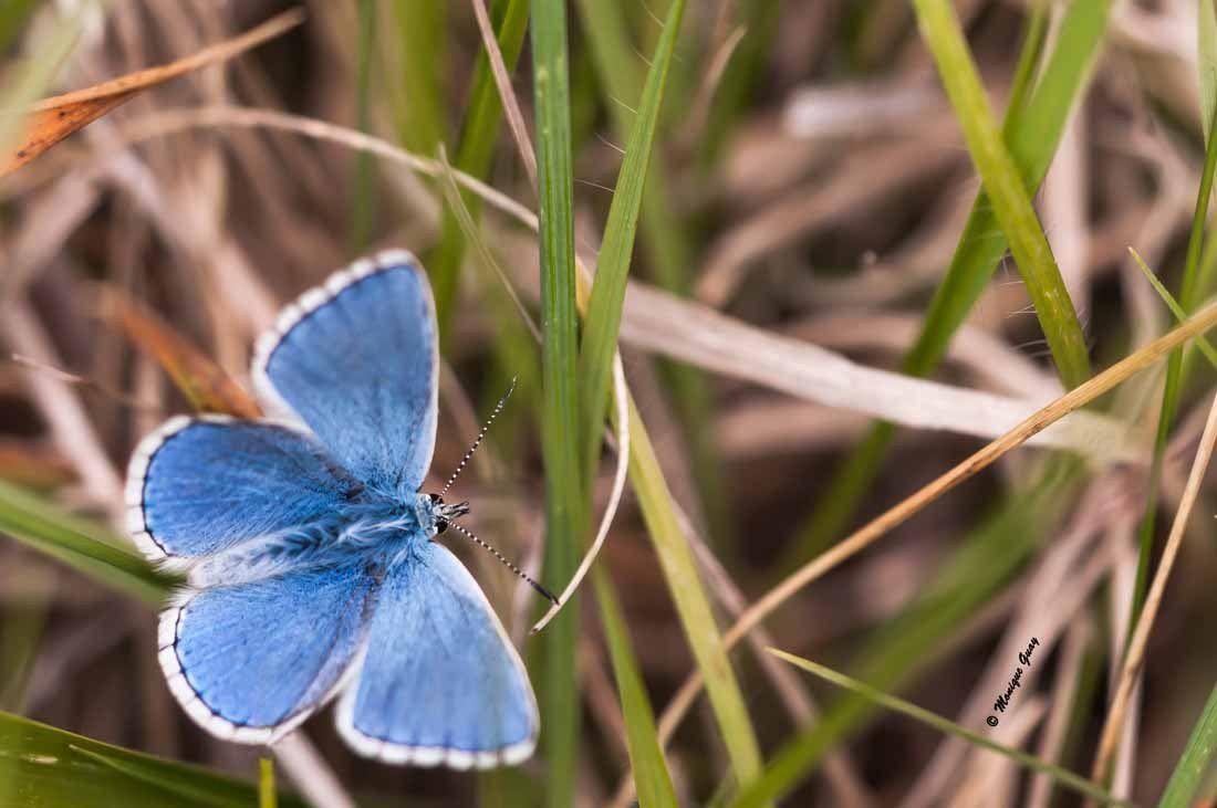 Papillon Argus bleu