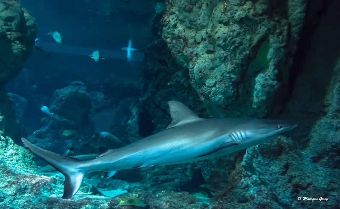 Requin à Océanopolis