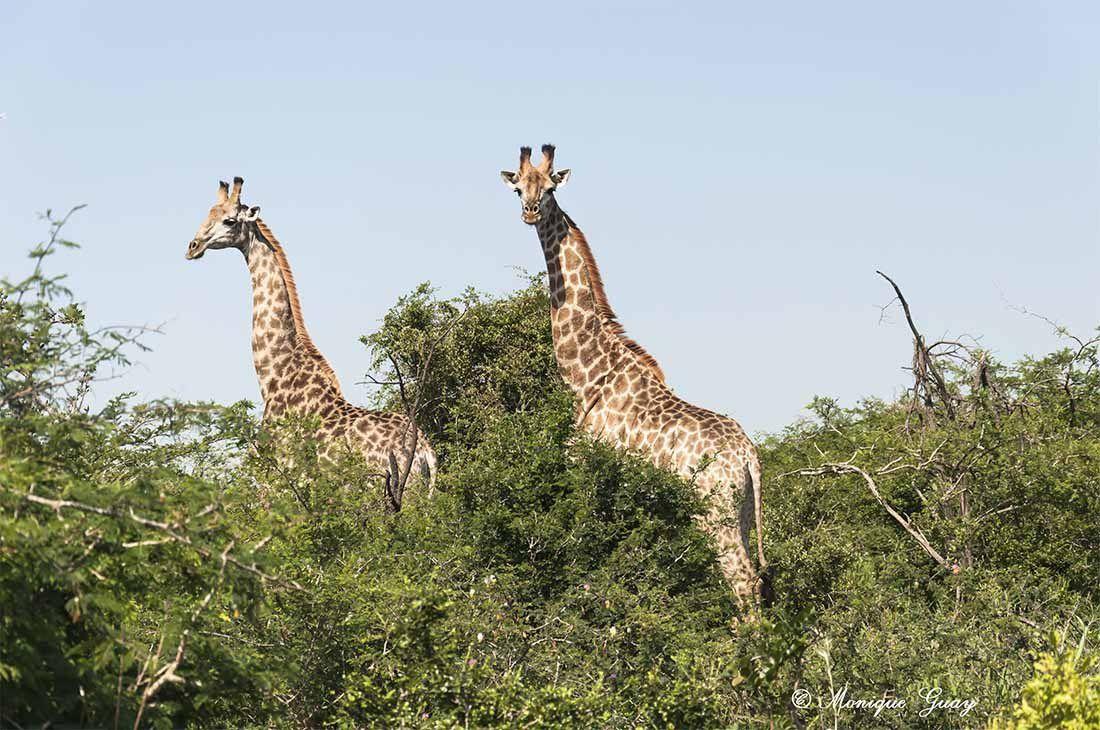 Les girafes en stars