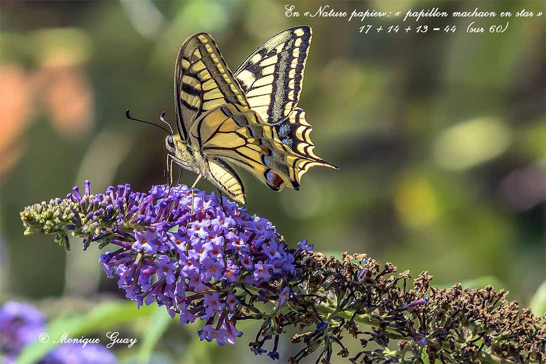 Papillon Machaon en star