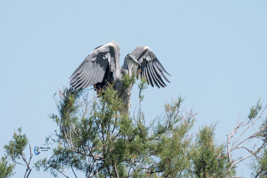 Héron cendré, ailes écartées