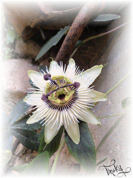 ***C'était l'été... Ma Rocaille !!! Sourire (Le 3 & le 9 Juillet 2014) Plantes Grasses+Muguets+Sarriette+Spartacus+Passiflore&Autres...Clin d'oeil***