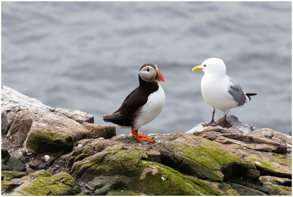 Les oiseaux des îles Farne