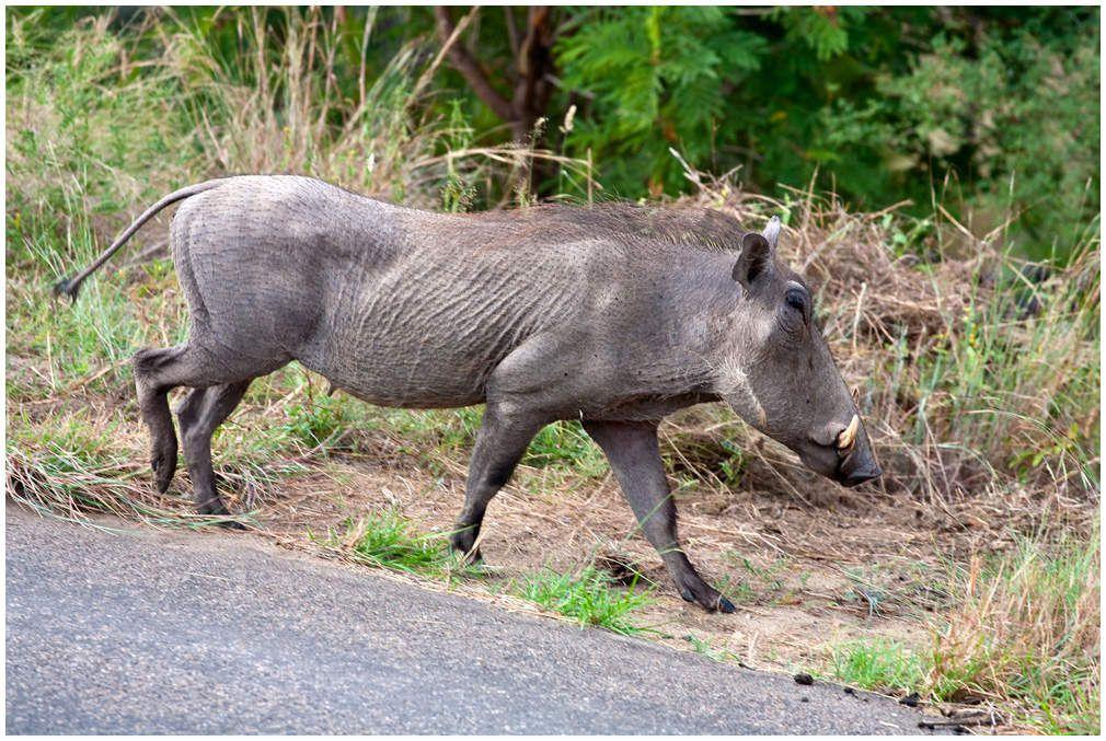 Le parc Kruger - Afrique du sud
