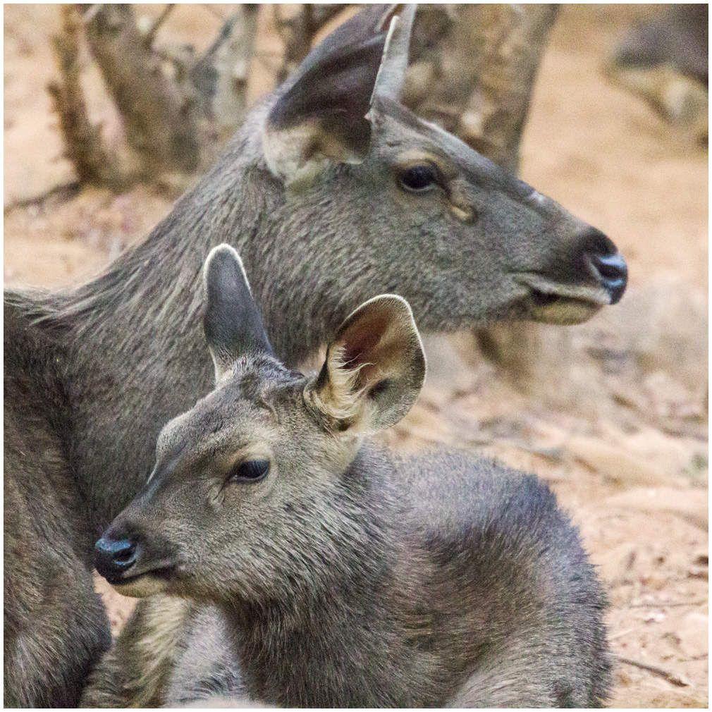 La vie sauvage dans les parcs du Rajasthan