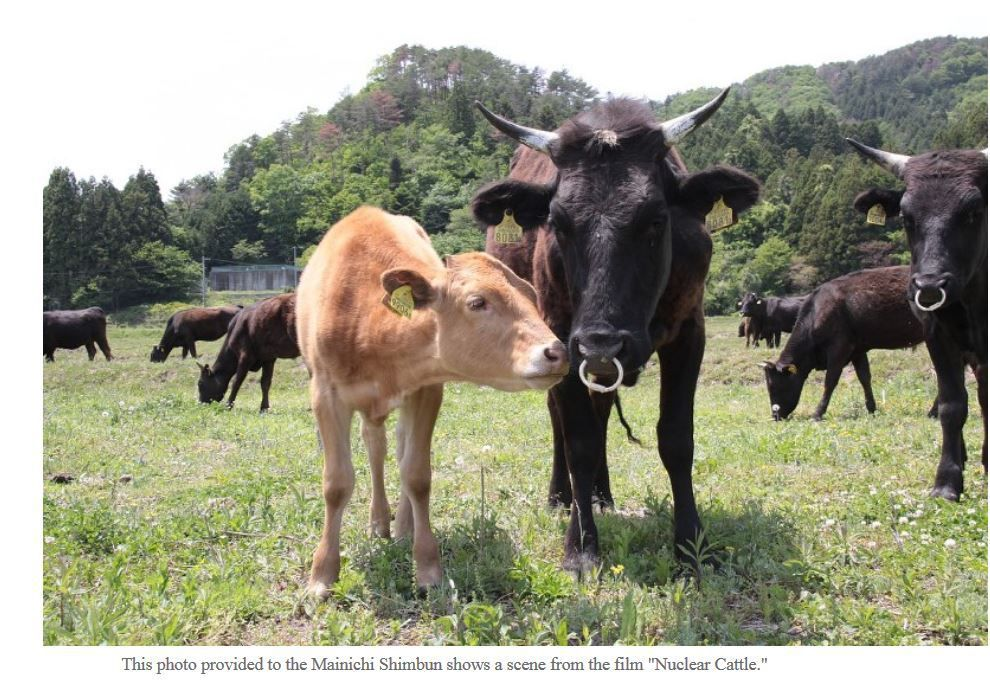 Nuclear cattle
