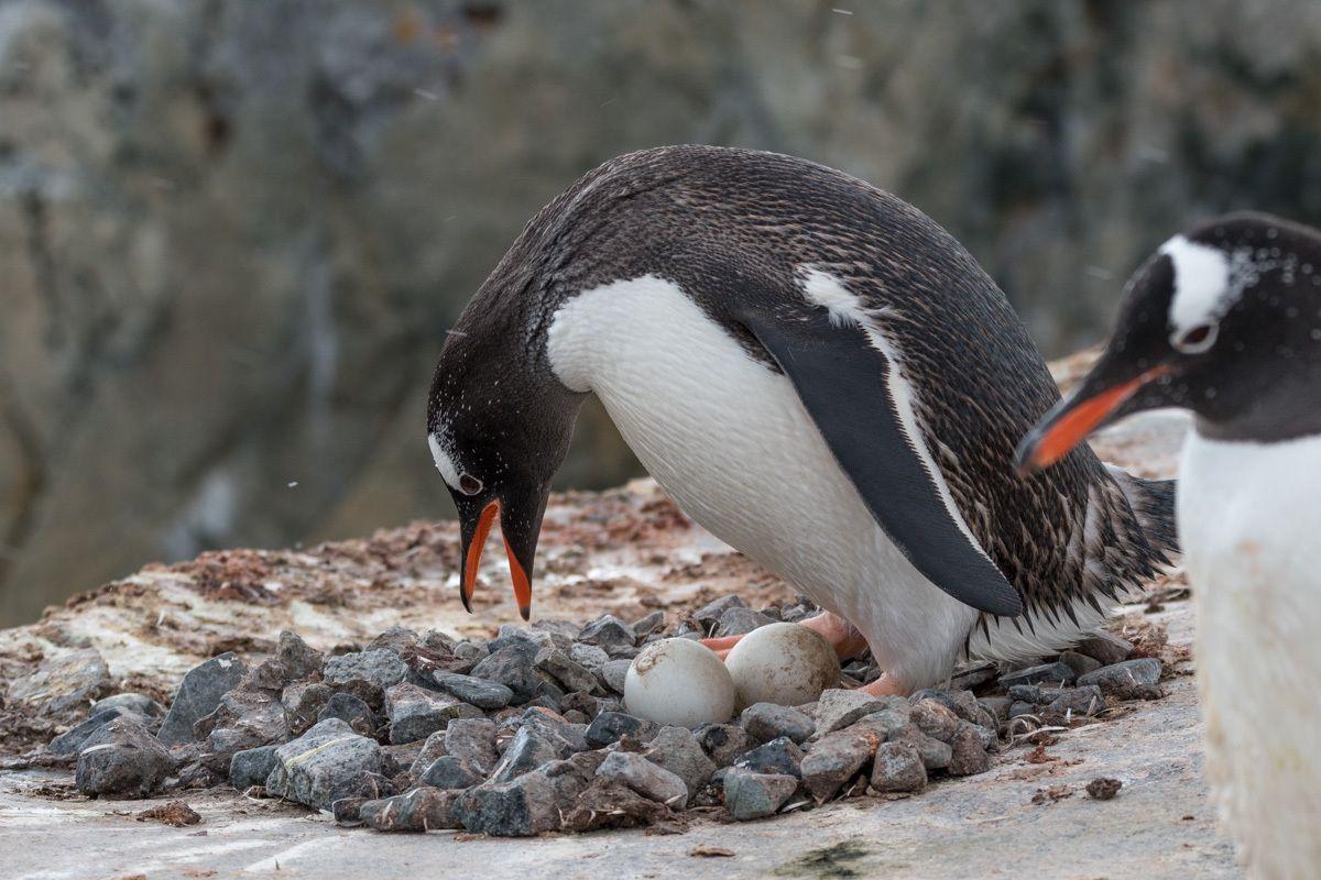 Manchots papou - Antarctique