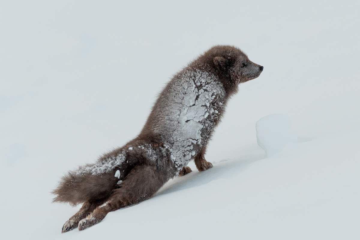 Renard polaire islandais en hiver