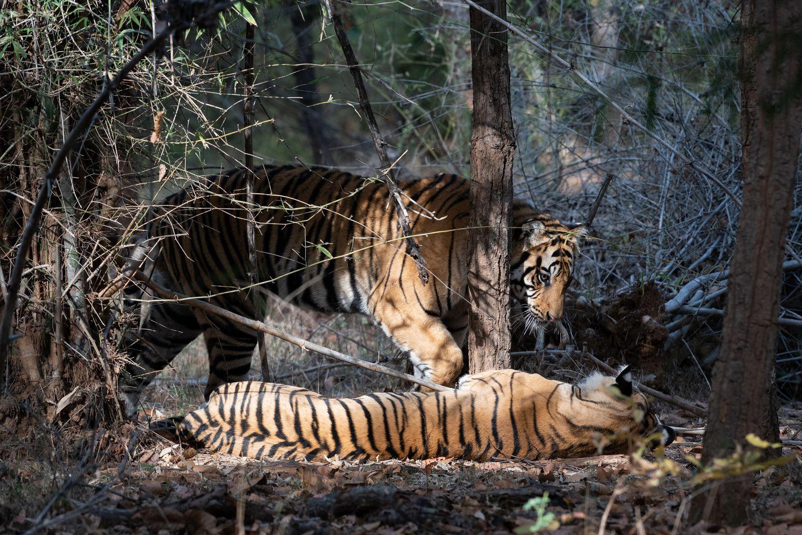 Les tigres de Bandhavgarh, INDE