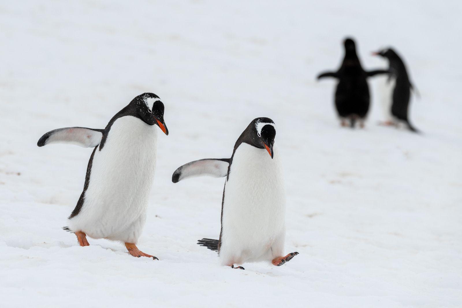 Amours en Antarctique