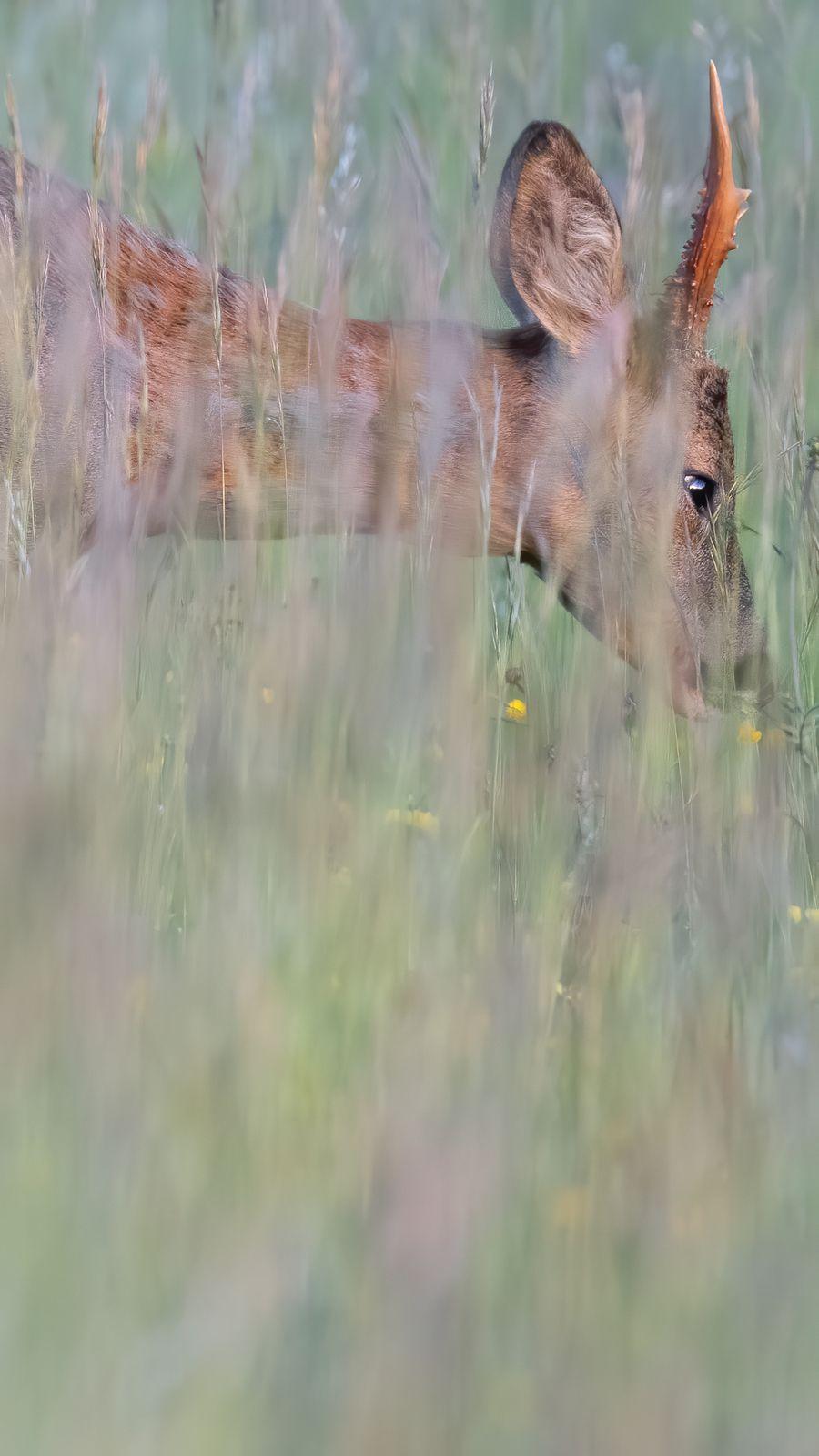 Lynx et rut du chevreuil dans le Jura