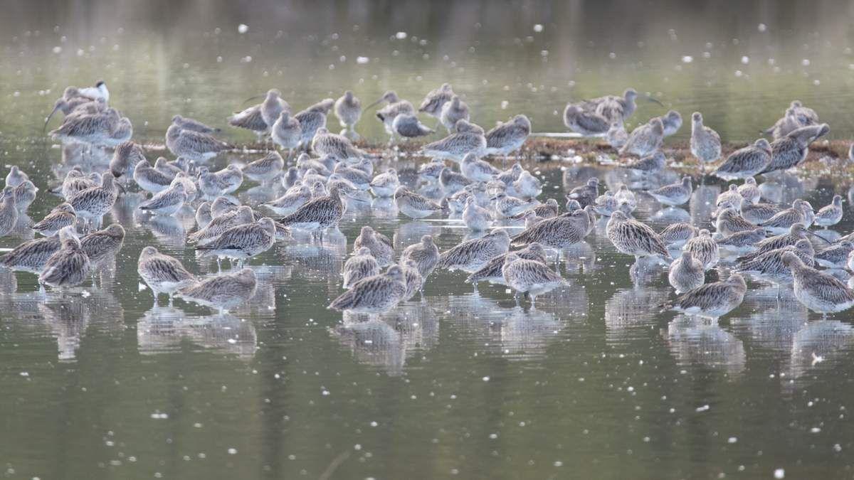 Le Teich - Le coin des limicoles