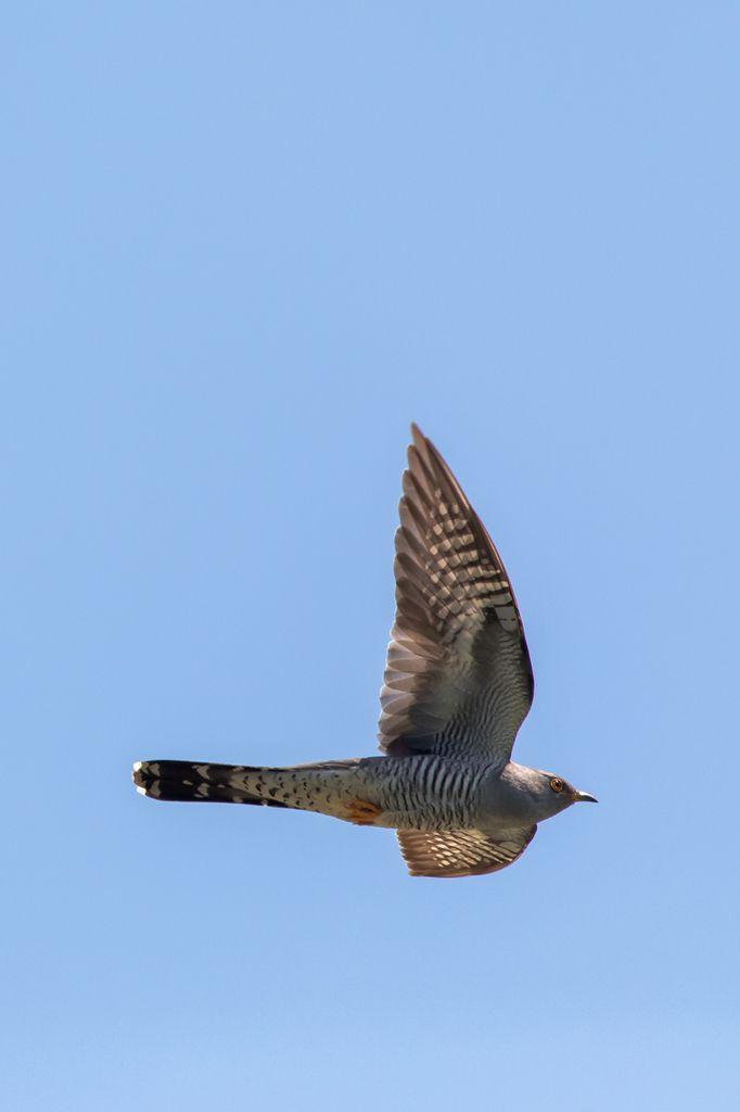Delta du Danube - Rollier, Huppe fasciée, coucou et autres oiseaux