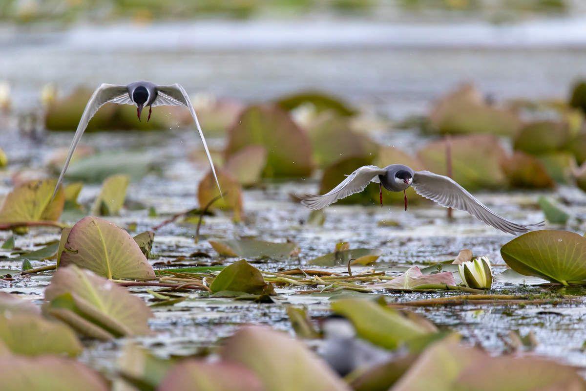 Delta du Danube - Guifettes, sternes et cormoran