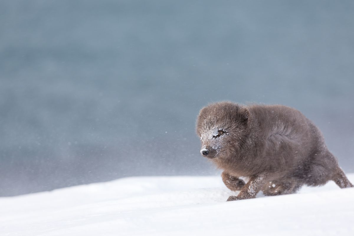 Islande en hiver - Hornstrandir - J11 Derniers ébats et retour