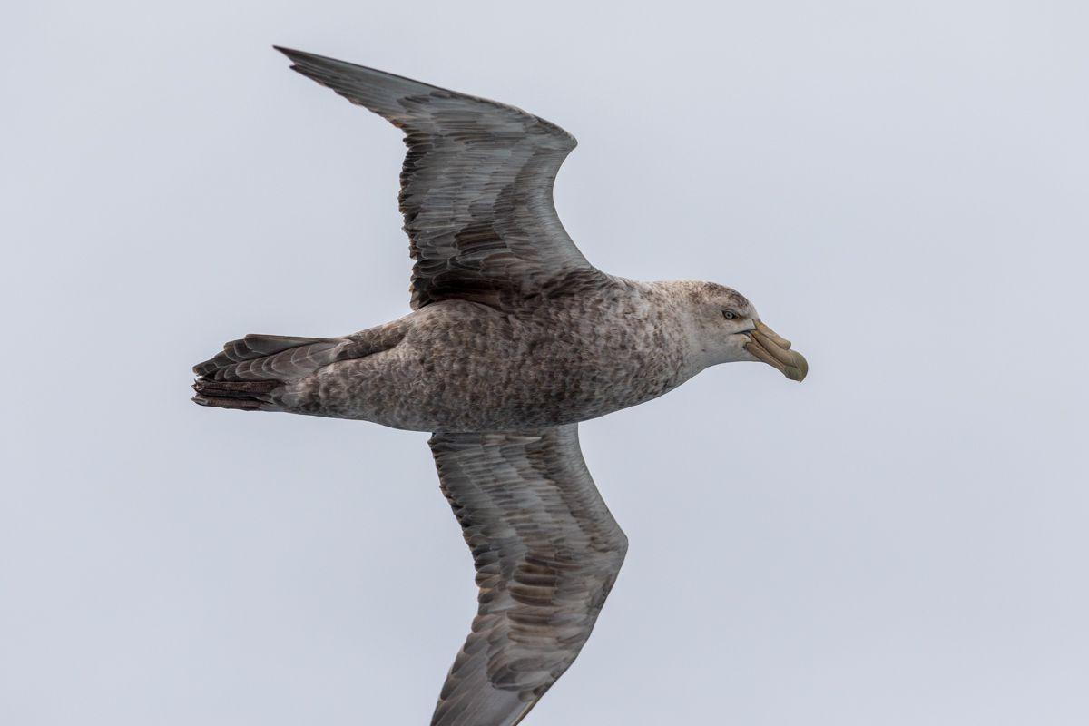 Antarctique - Cormorans, albatros, damiers, petrels