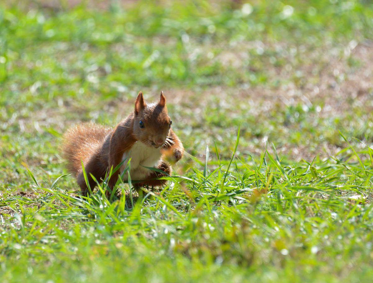 Maman Ecureuil au jardin ce jour