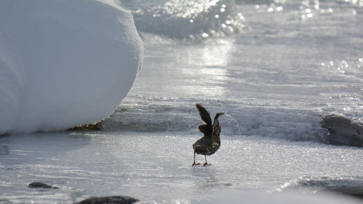 .Aigle royal.Gypaète barbu.Cingle plongeur.vu mais pas photographié lagopède,perdrix bartavelle,traces dans la neige du lièvre variable