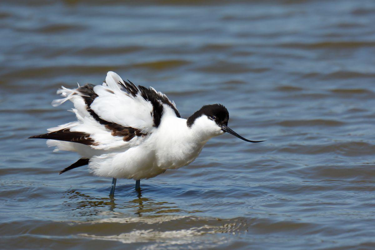 Les oiseaux en Camargue en Avril