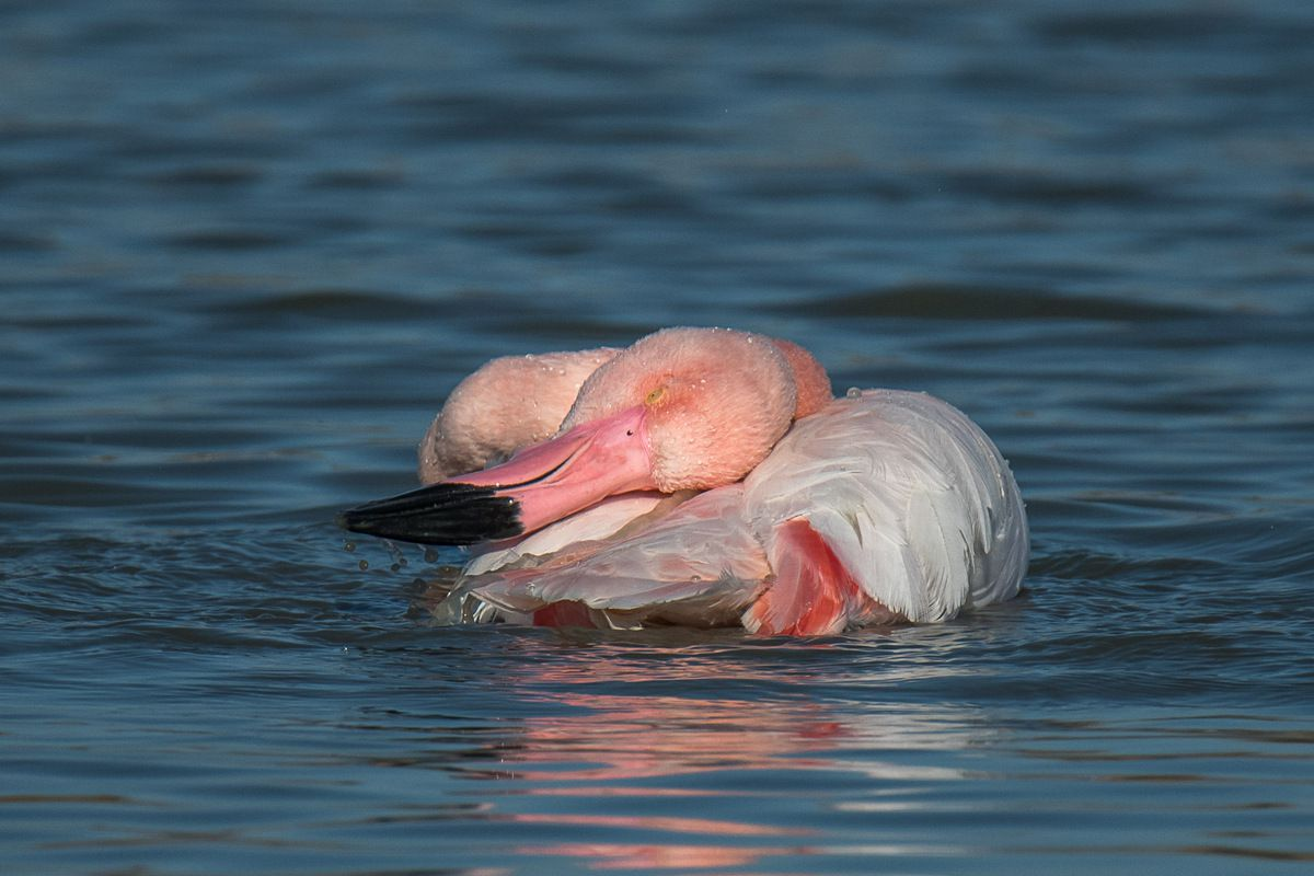 Camargue.Parc Ornithologique de Pont de Gau en décembre 2016