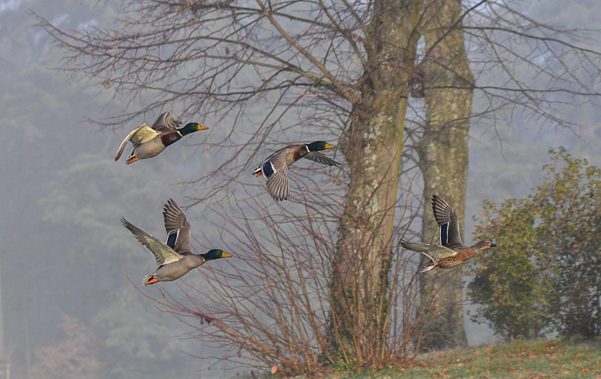 Les canards en vol et sur la glace à la Croix Laval