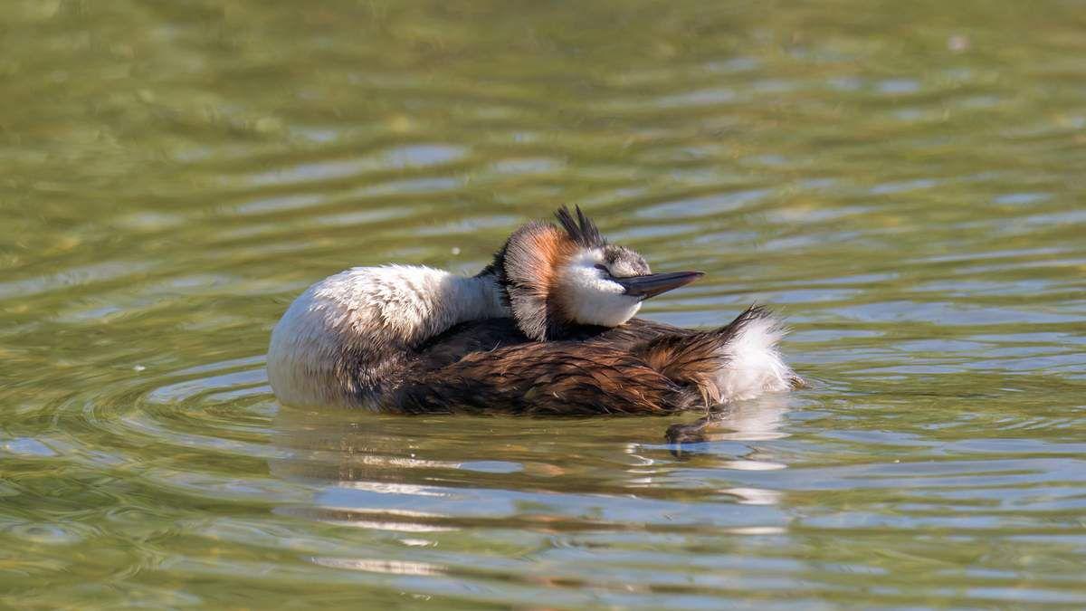 Le Grèbe Huppé à la mi juin au lac du Bourget