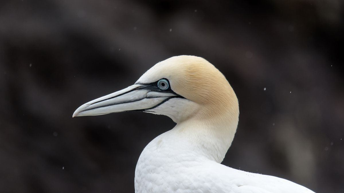 Voyage ornithologique en Ecosse début Juin